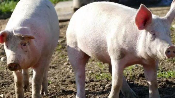 Świnie pożarły rolnika
