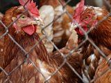 UE wstrzymała import mięsa drobiowego z Ukrainy z powodu ptasiej grypy