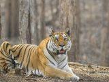 U tygrysa w nowojorskim zoo wykryto koronawirusa