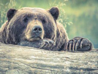 Niedźwiedzie ZJADŁY turystkę