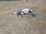 Tajemnicze zgony koni. Padło całe stado. Policja prowadzi śledztwo